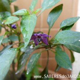 Flor da pimenta pérola roxa