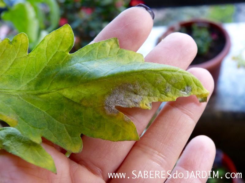 Planta com Fungo - Doença - Oidium - Oidio