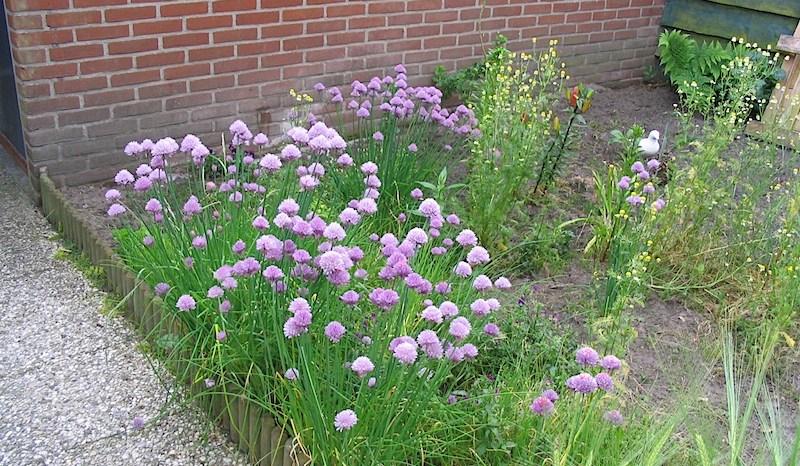 Cebolinha (Allium  fistulosum)