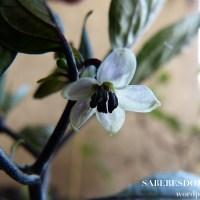 Por que as flores de pimenta caem?
