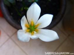 Lírios do Vento - Zephyranthes candida
