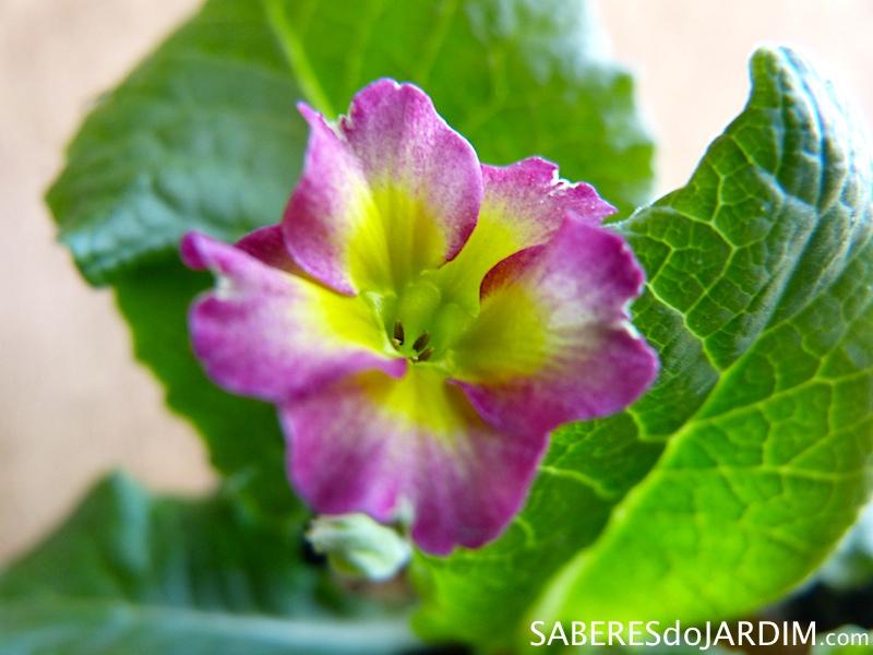 Prímulas (Primula elatior)