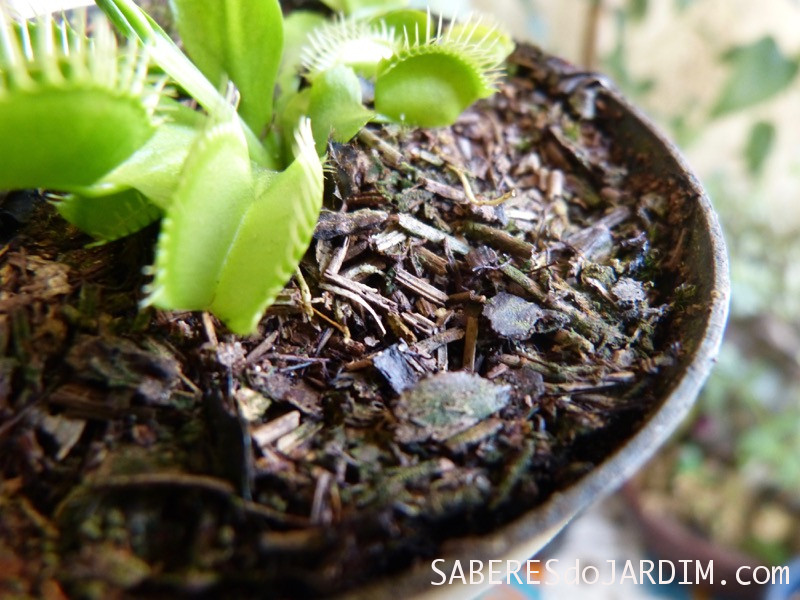 Substrato da Dionaea muscipula