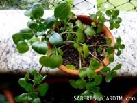 Horta - Agrião