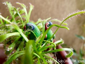 Passarinhos e Droseras Capensis