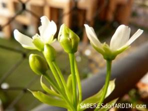 Floração da Dionaea Muscipula