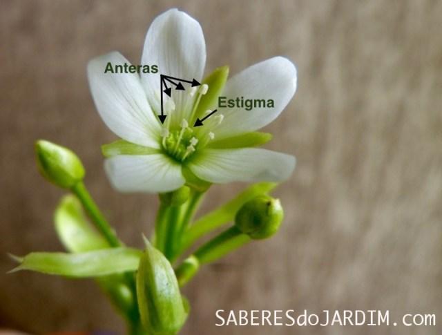 Polinização da Dionaea Muscipula