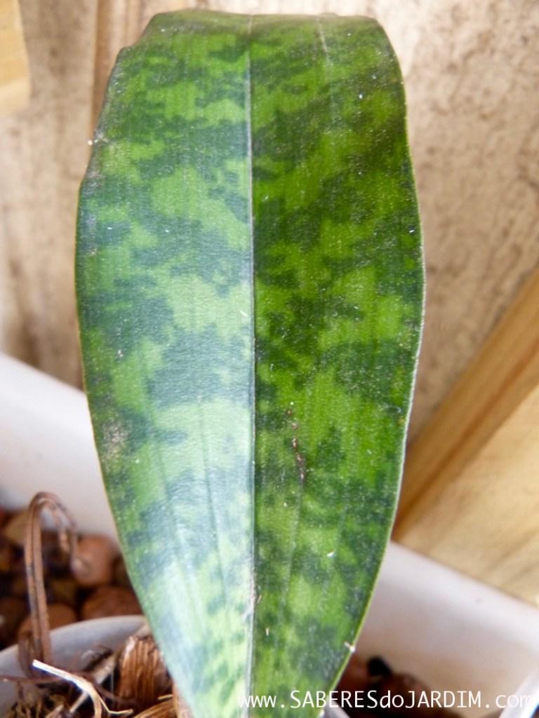 Orquídea Oeceoclades Maculata