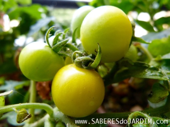 Tomate patio cherry gelb