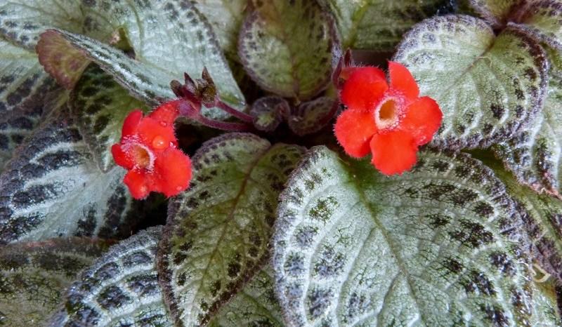 Planta Tapete (Episcia cupreata)