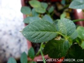 Mini Rosas - Rosa Chinensis - Ácaros