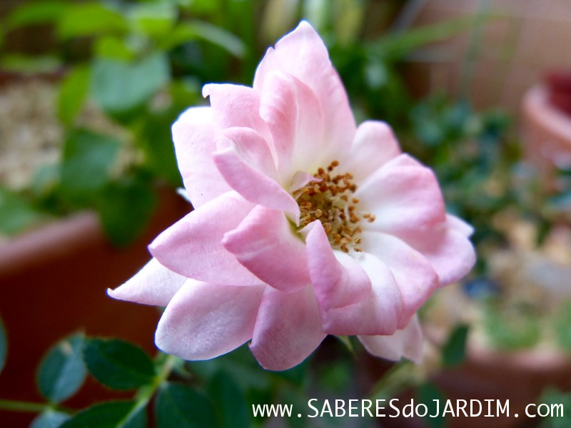 Mini Rosas - Rosa Chinensis