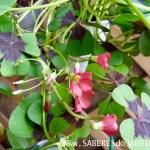 Trevo de 4 Folhas (Oxalis Tetraphylla)