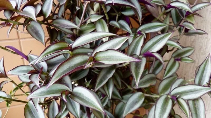 Zebrina (Tradescantia Zebrina)