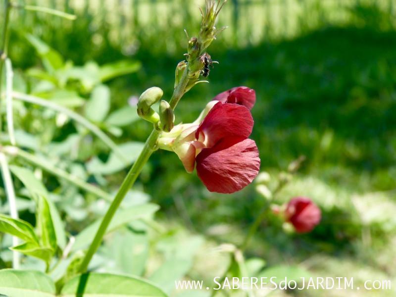 Caçadora de Plantas - Identificar Espécies e Coletar Sementes - macroptilium lathyroides