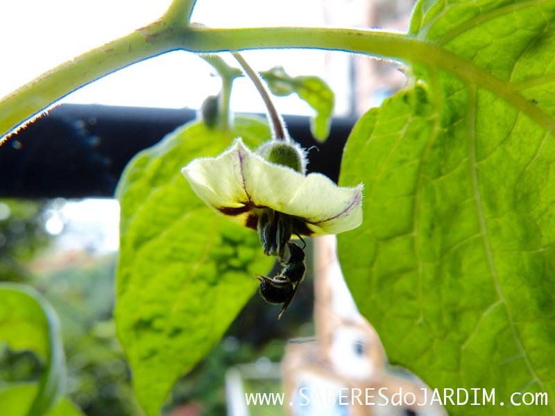 Physalis - Physalis Peruviana