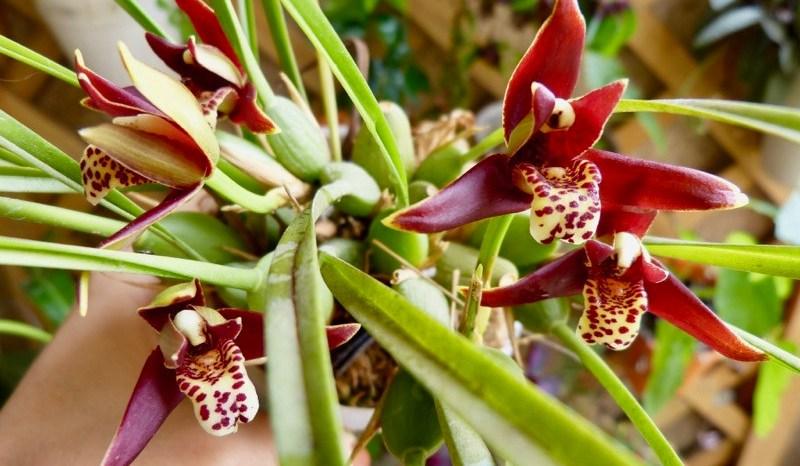 Orquídea Côco (Maxillaria Tenuifolia)