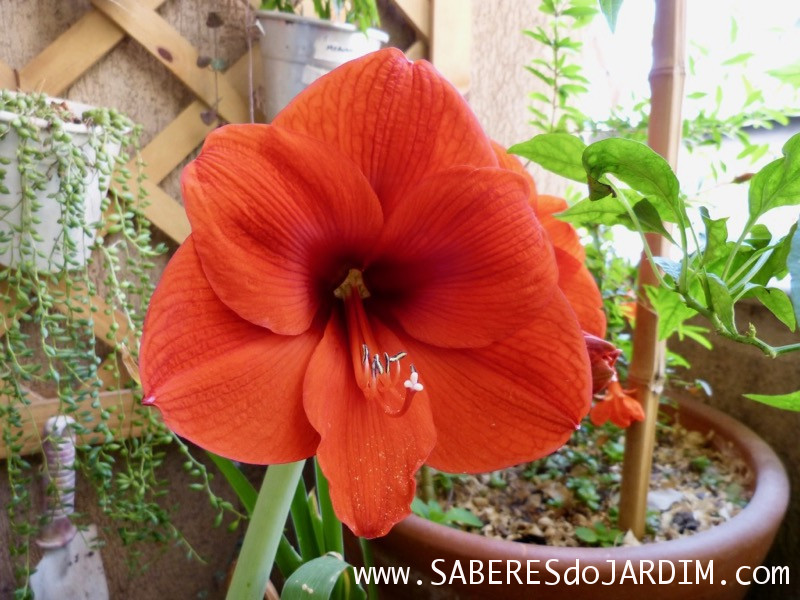 Amarilis Orange Sovereign - Hippeastrum hybridum