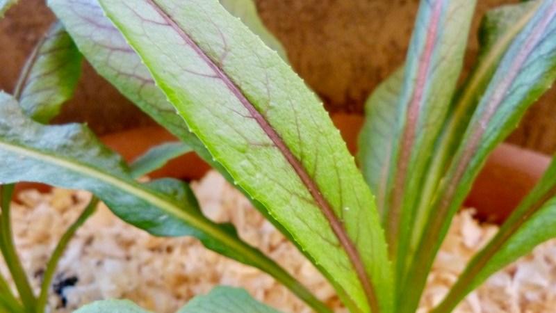 Almeirão Roxo ou Almeirão Japonês (Lactuca canadensis)