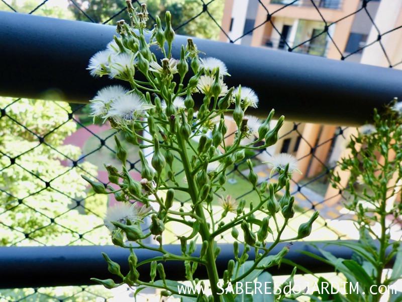 Almeirao roxo - Almeirao japonês - Lactuca canadensis