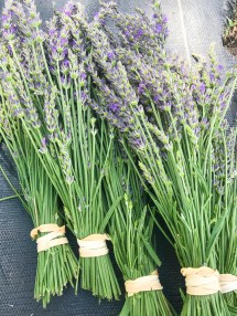 These fresh-cut stems are bundled for drying.