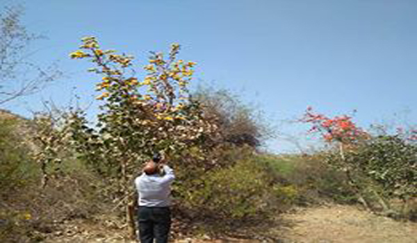 Dr. Sanjay Purohit Assistant Professor of Botany of Sirohi Govt College is seen in the forest of Sirohi yellow tissue flowers tree