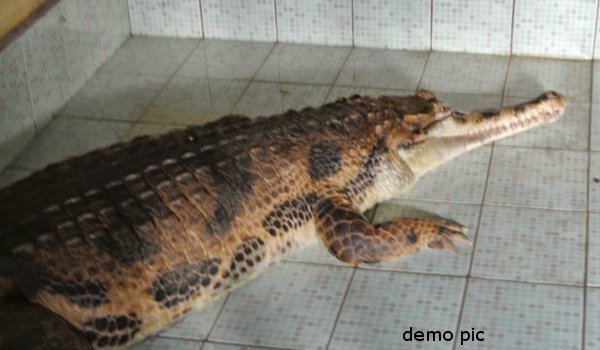 Crocodile enters into house in Kota
