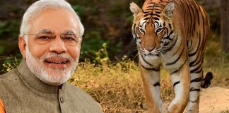 prime minister narendra modi releases report on tigers in india