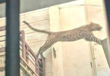 leopard enters residential area in sms school jaipur
