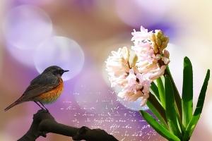 hyacinth-673382_640