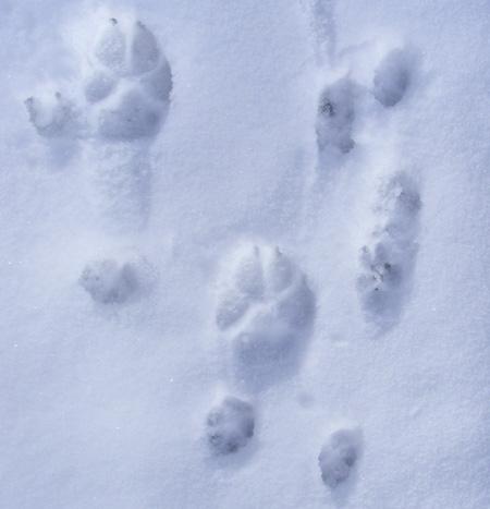 Trittsiegel und andere Tierspuren  Wolf Fuchs Br