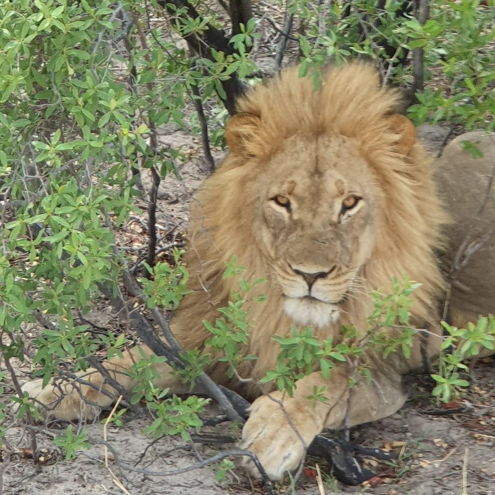 young lion, jonge leeuw