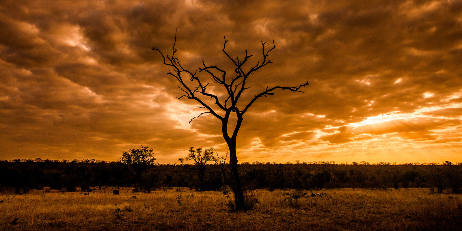 Wild Facts Sabi Sabi Private Game Reserve  The Leadwood tree