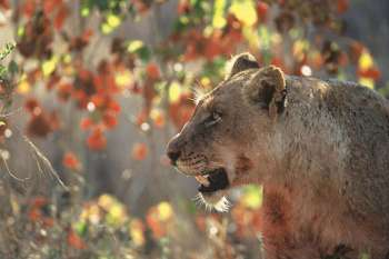 Dulini Lodge Wildness of Lions
