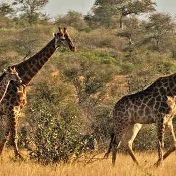 Idube Game Lodge Accommodation Giraffes