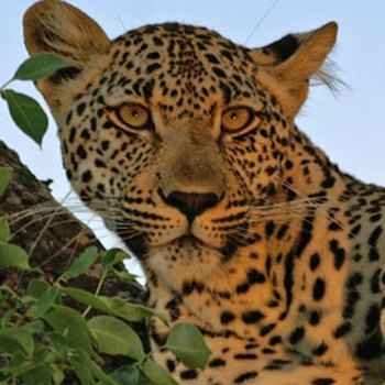 Idube Game Lodge Accommodation Leopard