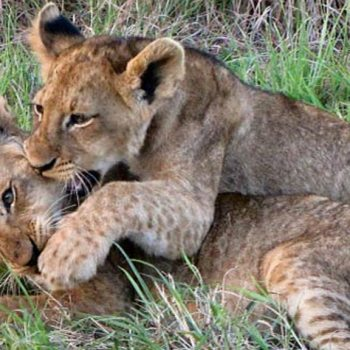 Idube Game Lodge Accommodation Lion Cubs