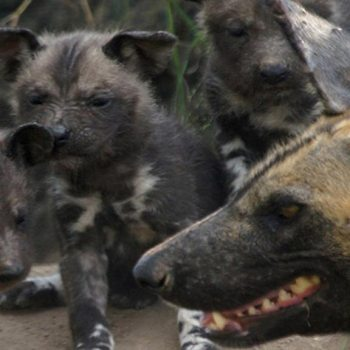 Idube Game Lodge Accommodation Wild Pups
