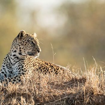 Sabi Sands Game Reserve Leopard Wildlife