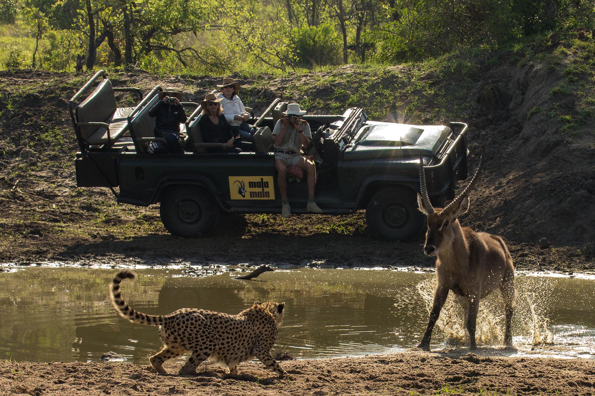 a stand off between a cheetah and a male waterbuck at MalaMala game reserve being observed by guests in a safari vehicle in the background