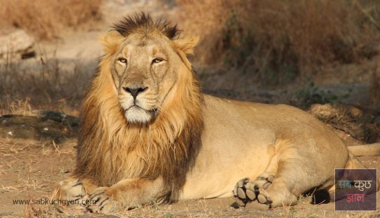 about-of-Asian-lion-in-hindi