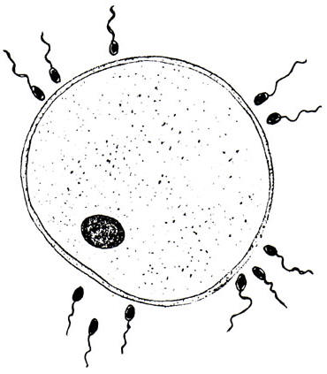 an egg cell surrounded by  sperm cells