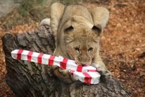 Sacramento Zoo Animals Went Wild for Holiday Magic