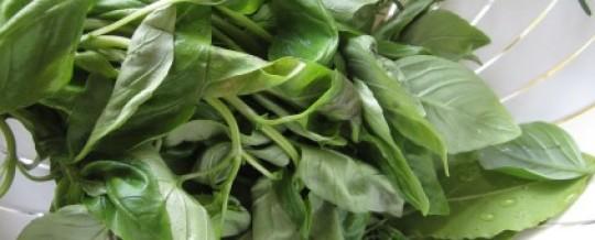 Beim Basilikum auf große Blätter achten!
