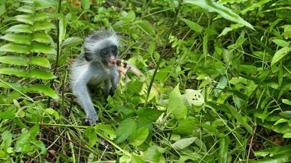 Monkey Jozani forest