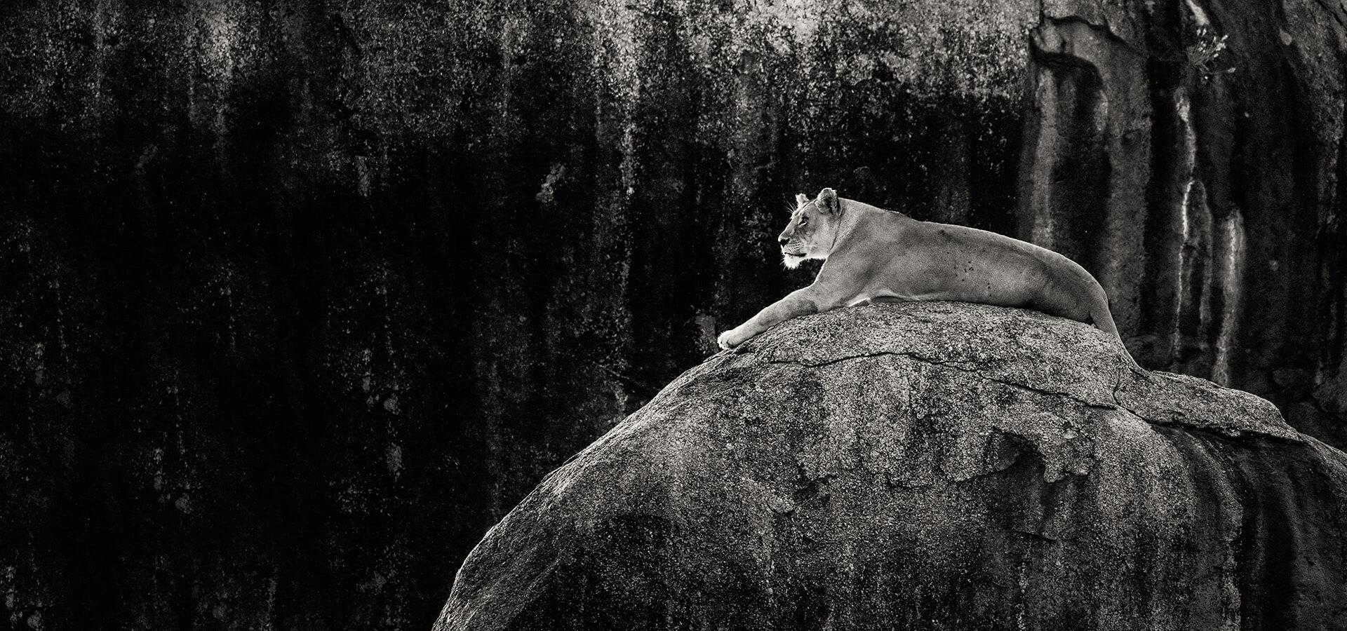Sacred Nature lioness copi