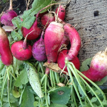 radishes, french breakfast radishes, french radishes, purple radish, radish