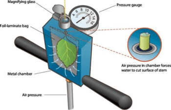 Schematic showing how water potential is measured in a severed leaf and stem (petiole) using a hand-held pump-up pressure chamber. Source: Adapted from Plant Moisture Stress (PMS) Instrument Company.