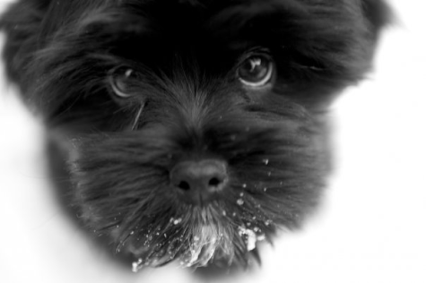 Black and white photo of Millo a Shih Tzu Yorkie cross dog