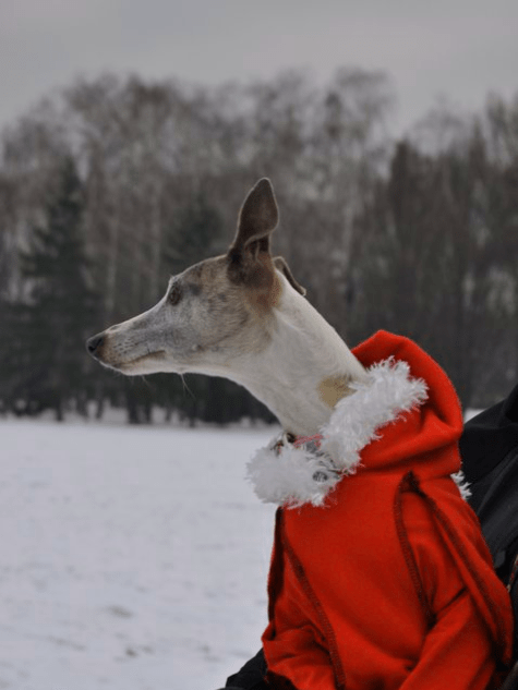 Sunny dog from Hungary in snow